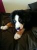 Balu als Junghund